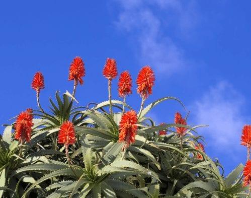 Aloe fiore con cielo blu