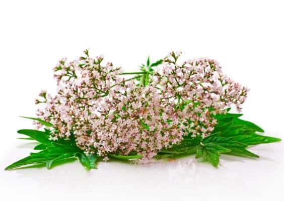 valeriana-fiori