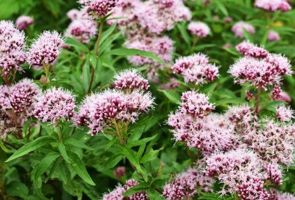 fiori-di-valeriana